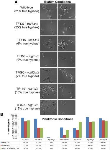 biofilm adalah candida albicans biofilm defective mutants yeast