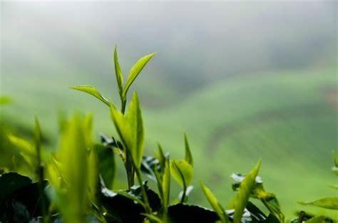 Teh Hijau Cina secangkir teh hijau dan manfaat polifenol bestbio4life