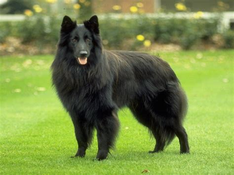 belgian dogs belgian shepherd