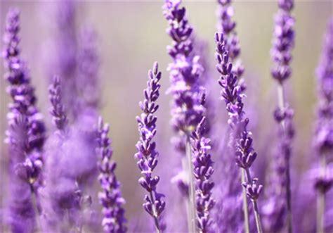 Wie Pflege Ich Lavendel 4886 by Blumen De Lavendel Schneiden Pflegen Und Ernten