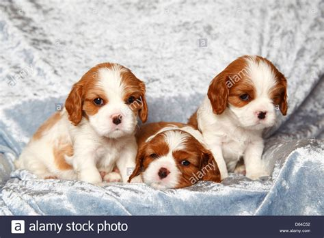 king charles puppies cavalier king charles spaniel puppies blenheim 4 1 2 weeks stock photo royalty
