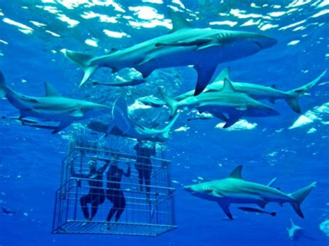 cage dive with sharks shark cage diving kzn things to do and activites in margate