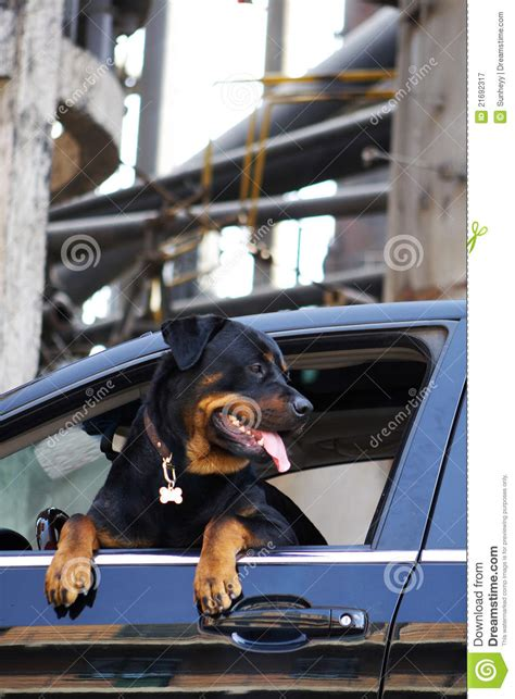 rottweiler in car rottweiler in car royalty free stock photography image 21692317