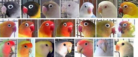 Topeng Warna Warni ragam warna per bagian tubuh lovebird klub burung