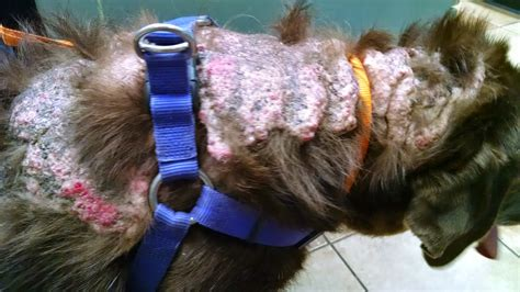calcinosis cutis in dogs a vet s guide to a with a shell