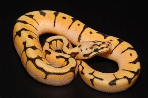 ball python tattoo i want a python