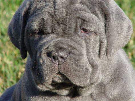 neapolitan mastiff puppies complete guide to the neapolitan mastiff its history neapolitan mastiff standard