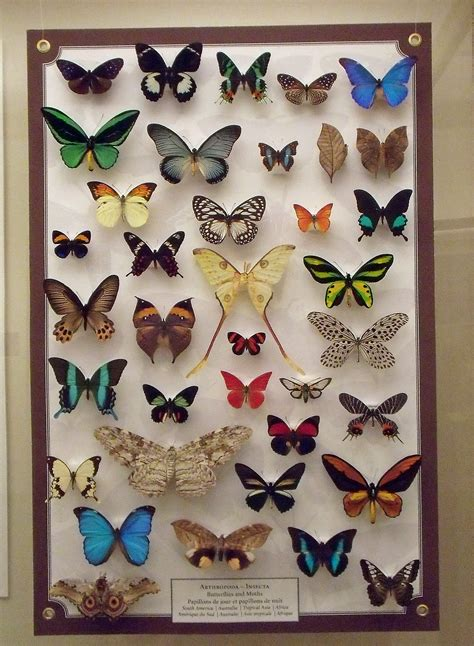 collection of file a butterfly collection jpg wikimedia commons