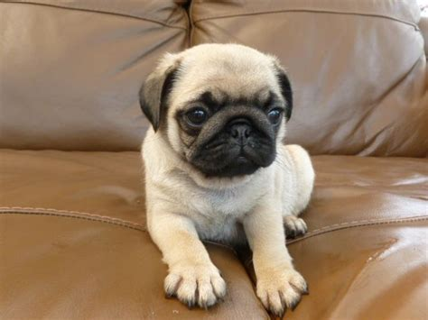 1 week pug puppies pug puppy for sale 9 weeks 6 days billingham county durham pets4homes