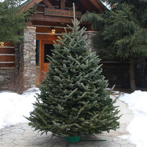 dutchman tree ff 6 foot to 8 foot fraser fir live