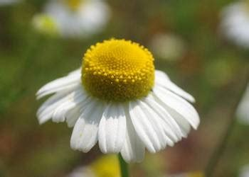 fiore camomilla camomilla storia tradizione usi e linguaggio dei fiori