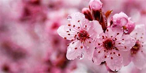 wallpaper daun sakura 20 gambar bunga sakura di jepang ayeey com