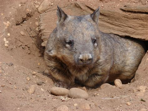 Wombat Stool by The Creature Feature 10 Facts About Wombats Wired