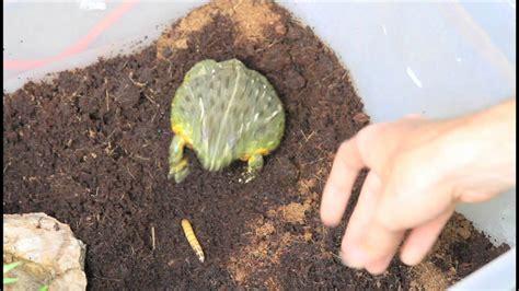 Feeding Frog pyxie frog feeding