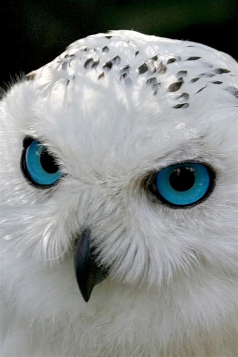 snowy owl click here to find out more http