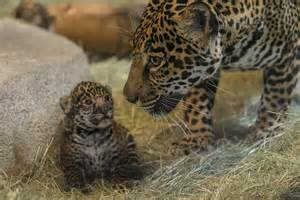 How Do Jaguars Babies Baby Jaguar Born At San Diego Zoo Is A Boy Wric