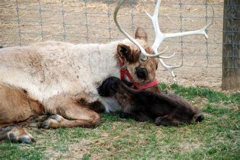 arch barn farm  reindeer farm  pennsylvania  positively enchant   season