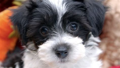 how big do havanese get the beagle personality what to for
