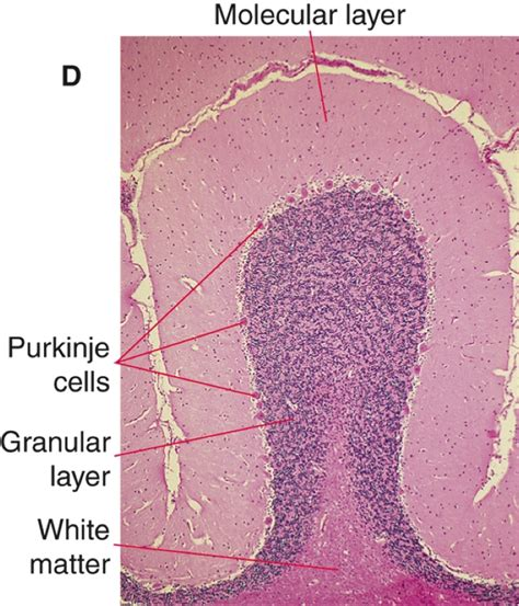 pattern formation in the cerebellum brain and behavior part 1 at university of pennsylvania