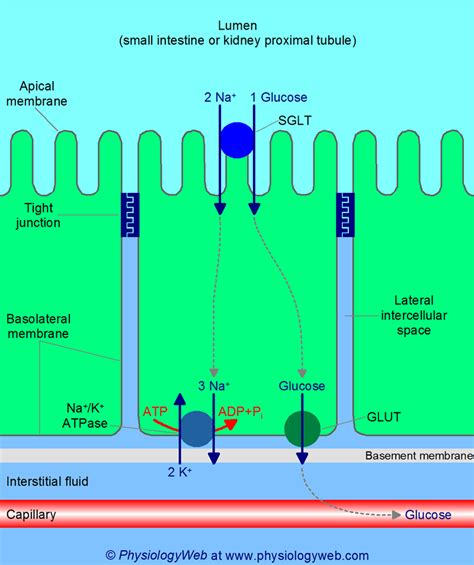 physiological significance   membrane potential