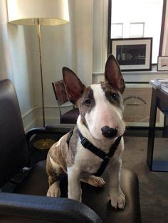 12 reasons why you should never own bull terriers mini bull terrier hypoallergenic good with kids why so