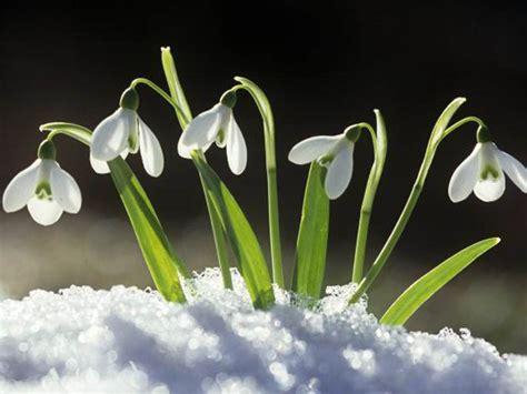 snowdrops matt nichol garden design