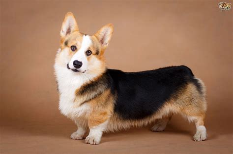 Corky Hund by Pembroke And Cardigan Corgi Health Issues Pets4homes