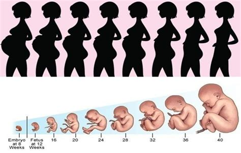 pregnancy stages interested to pregnancy stages join me here