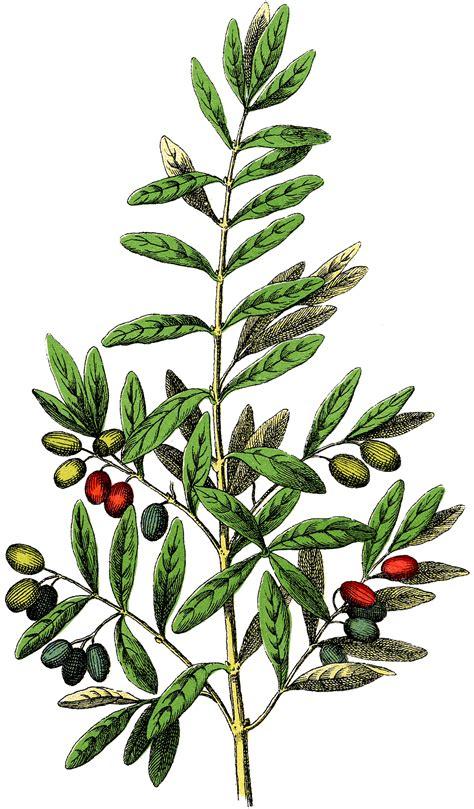 botanical olives clip art gorgeous  graphics