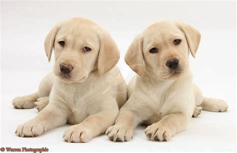 white lab puppies white labrador puppies white lab retriever