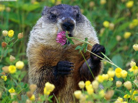 groundhog day like pin groundhogs day pictures on