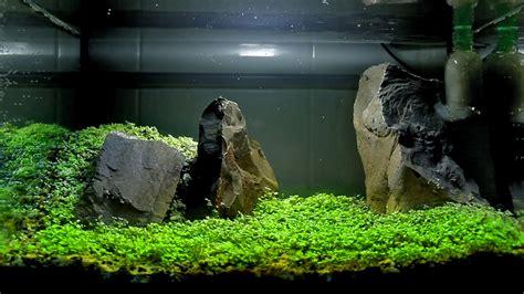 aquascape carpet plants carpet seeds aquascape setup