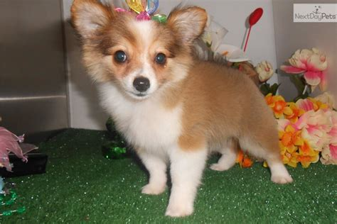 pomchi puppy pomchi puppy for sale near chicago illinois f17a0ca7 9111