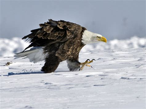 bald eagle walking bald eagle walking 2 winter wallpapers and images