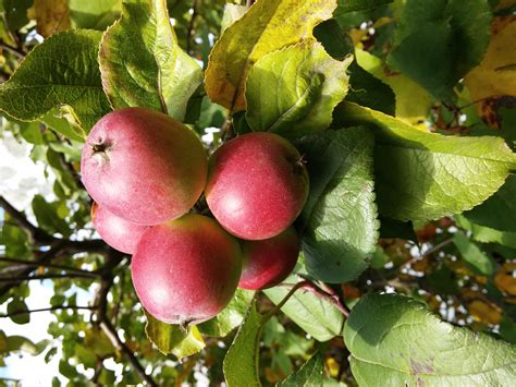 fruit trees melbourne antique apple tastings at petty s orchard melbourne