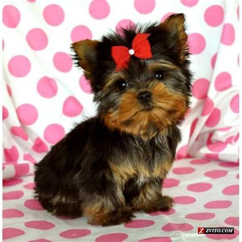 tiny yorkies tiny teacup yorkie e world