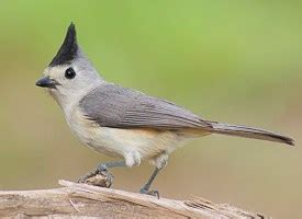 black crested titmouse identification all about birds