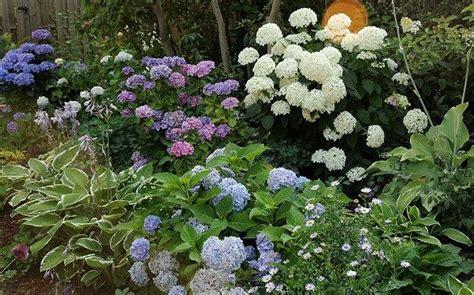 welche pflanzen brauchen wenig sonne 4289 hortensie f 252 r wenig sonne mein sch 246 ner garten forum