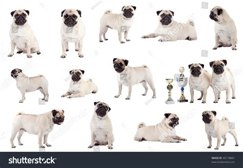 many pugs many pugs sitting standing and lying in front of white background studio
