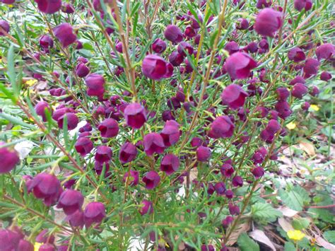 flower shrub boronia purple jared