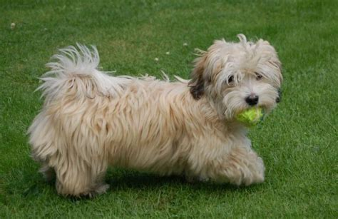 fawn havanese brindle with black and mask breeds picture