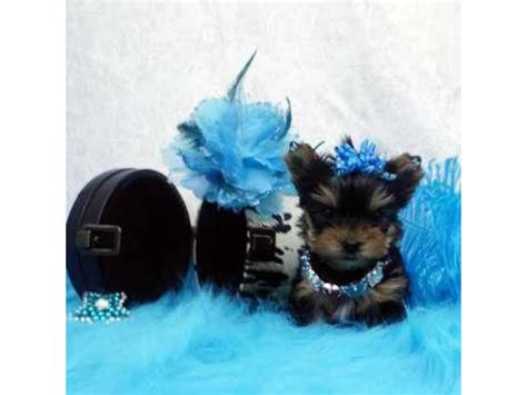 free puppies lakeland fl tea cup yorkie puppies available now 484 381 0472 animals lakeland florida