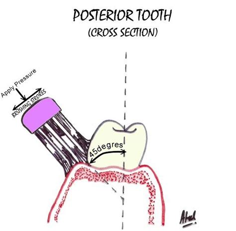 tooth cross section proper technique of brushing
