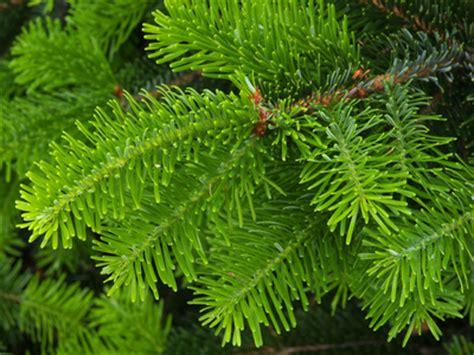 Garten Pflanzen Unter Nadelbäumen by Tannenb 228 Ume Planzen Und Pflegen Tipps Zur Pflege Der