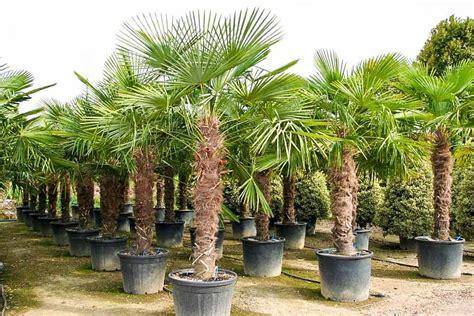 Palmen Kaufen 140 by Trachycarpus Fortunei Hanfpalme 290 300 Cm Winterhart