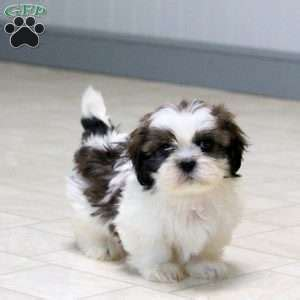 shih tzu puppies pa shih tzu puppies for sale in de md ny nj philly dc and baltimore