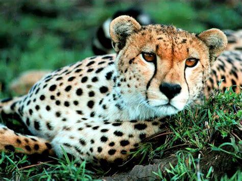 cual es el animal terrestre mas veloz en el mundo respuestastips