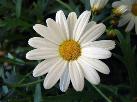 fiori margherite fiori margherita fiori delle piante