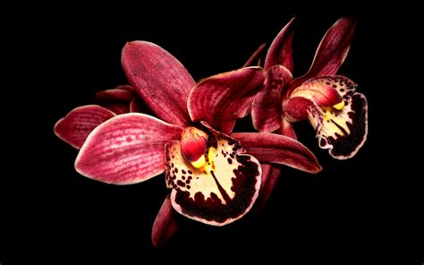 black and white orchid wallpaper 21 gorgeous hd orchid flowers wallpapers hdwallsource com