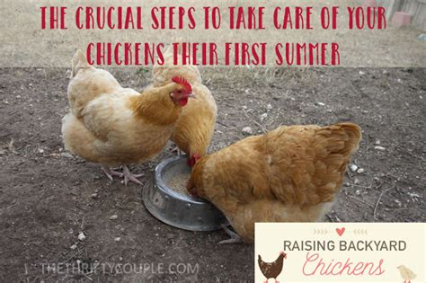 how to care for chickens in your backyard 28 images